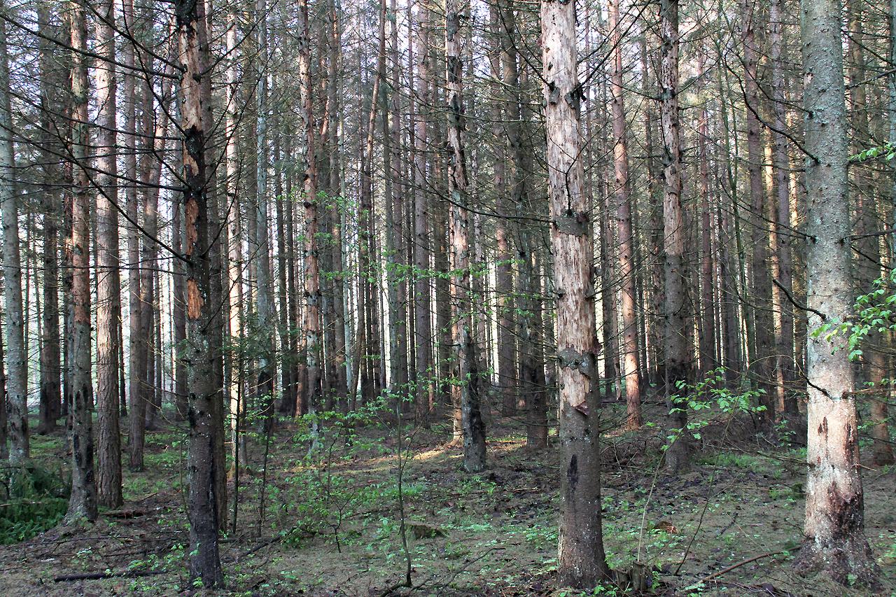 """5/5 """"Hackspettskog"""" som härjats av granbarkborrar."""