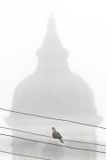 1/5 På väg till den första morgonskådning vid Tykocin före frukost. Turkduva Streptopelia decaocto (Eur. Collored Dove) poserar.