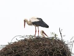 1/5 Vit stork (Ciconia ciconia, White stork). Tykocin.