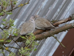 1/5 Turkduvor Streptopelia decaocto (Eur. Collored Dove) utanför hotellet.