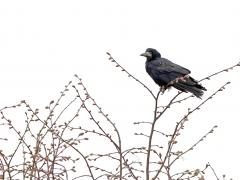 2/5 Råka Corvus frugilegus (Rook) .