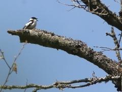 3/5 Halsbandsflugsnappare, hane (Ficedula albicollis, Collared Flycatcher).  Bialowiezaskogen.