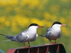4/5 Fisktärna (Sterna hirundo, Common Tern).