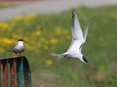 4/5 Fisktärna Sterna hirundo (Common Tern).