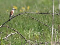 4/5 Törnskata, hane (Lanius collurio, Redbacked Shrike). Gruszki.