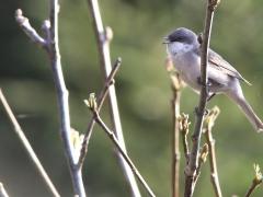 2/5 Ärtsångare (Sylvia curruca, Lesser Whitethroat). Dorek Bawra, Bialowieza.