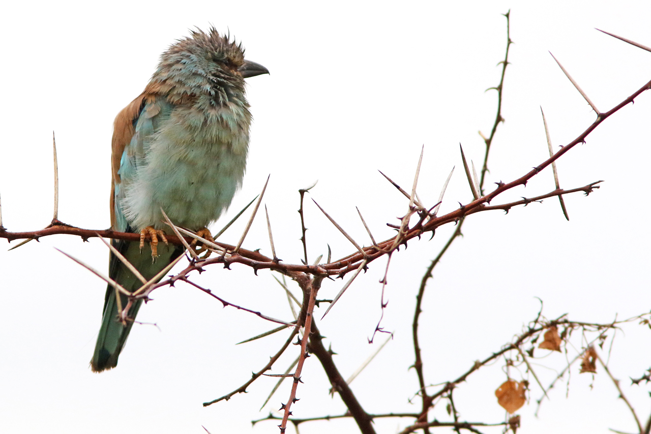 Blåkråka, Krügerparken, Sydafrika 2015-02-26