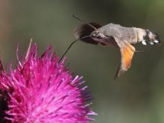 Blandat. När och Fjärran. Lesvos. Större dagsvärmare (Macroglossum stellatarum, Hummingbird  Hawkmoth) Mt Olympos, Lesvos, Grekland.