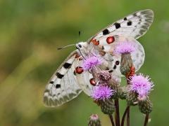 Apollofjäril Parnassius apollo Apollo Butterfly