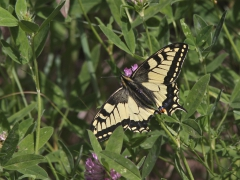 Makaonfjäril Papilio machaon Swallowtail