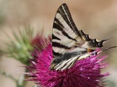 Segelfjäril Iphiclides podalirius Scarce Swallowtail