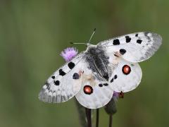 Apollofjäril (Parnassius apollo, Apollo Butterfly) Loftahammar, Småland