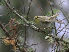 Grönsångare Phylloscopus sibilartix Wood Warbler