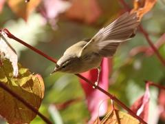 Lövsångare Phyloscopus trochilus Willow Warbler