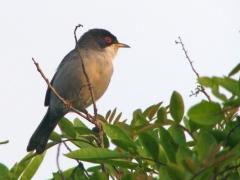 Sammetshätta Sylvia melanocephala Sardinian Warbler (Grand Canaria)
