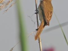 Trastsångare Acrocephalus arundinaceus Great Reed Warbler (Spain)