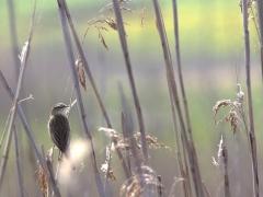 Sävsångare Acrocephalus schoenobaenus Sedge Warbler (Poland)