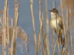 Trastsångare Acrocephalus arundinaceus Great Reed Warbler (Poland)
