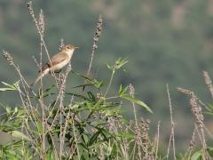 Eksångare (Iduna pallida, East. Olivaceous Warbler) Lesvos, Greece.