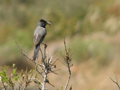 Svarthakad sångare (Sylvia rueppelli, Rûppel's Warbler) Lesvos, Greece
