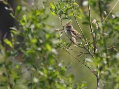 Busksångare (Acrocephalus dometorum, Blyth's Reed Warbler) Marklanda, Småland