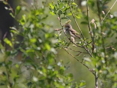 Busksångare (Acrocephalus dometorum, Blyth's Reed Warbler) Marklanda, Växjö,