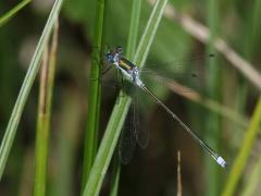 Pudrad smaragdtrollslända (Lestes sponsa, Common Spreadwing) Västernäs, Senoren.