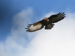 Ormvråken (Buteo buteo, Common Buzzard) häckar regelbundet på ön. Västernäs, Senoren.