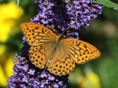 Silverstreckade pärlemorfjäril (Argynnis paphia, Silver-washed Fritillary) är en av de arter som älskar fjärilsbusken.
