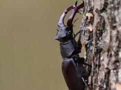 Den rödlistade ekoxen (Lucanus cervus, Stag Beetle) är Europas största skalbagge och lever bara en kort tid som vuxen. Västernäs, Senoren.