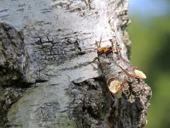 Oxhuvudspinnare (Phalera bucephala, Buff Tip) Västernäs, Senoren.