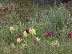Adam och Eva (Dactylorhiza latifolia) Elder-flowered Orchid blommar för fullt.