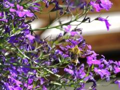 Humlelik dagsvärmare (Humaris fuciformis, Broad-bordered Bee Hawkmoth) Västernäs, Senoren.
