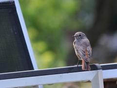 Rödstjärt (Phoenicurus phoenicurus, Common Redstart) Västernäs, Senoren.