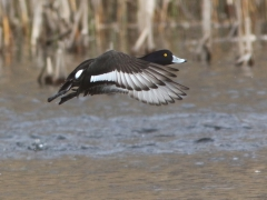 Vigg (Aythya fuligula) Tufted Duck rastar ofta i en liten göl på Västernäs
