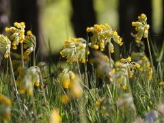 Gullvivan (Primula veris) Cowslip blommar flitigt på våren