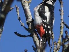 Större hackspett (Dendrocopos major, Great Spotted Woodpecker) En av de fem hackspettsarter som är sedda ochfotade på tomten.