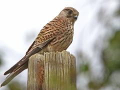 Tornfalk (Falco tinnunculus, Common Kestrel) Västernäs, Ramdala, Bl.