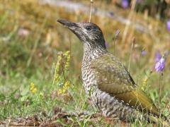 Gröngöling, 1k( European Green Woodpecker) En av de fem hackspettsarter som är sedda och fotade  på tomten.