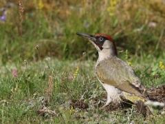 Gröngöling, hane ( European Green Woodpecker) En av de fem hackspettsarter som är sedda och fotade på tomten.