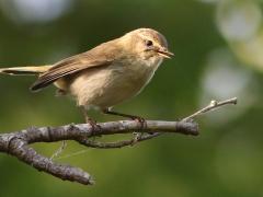 Gransångaren (Phylloscopus collybita) har blivit allt vanligare. Sången är ett ihärdigt upprepat chiff, chaff som lett till det engelska namnet Common Chiffchaff.