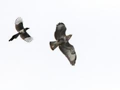 Ormvråk (Buteo buteo, Common Buzzard) uppvaktad av en upprörd skata (Pica pica, Common Magpie) Västernäs, Senoren.