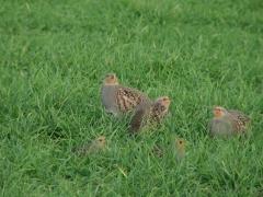 Rapphöna Perdix perdix Grey Partridge