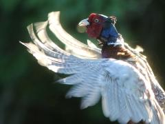 Fasan, hane (Phasianuscolchius, Common Pheasant) Åhus.