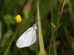 Ängsvitvinge (Leptidea reali, Réal's Wood White) Dalhem, Sm.