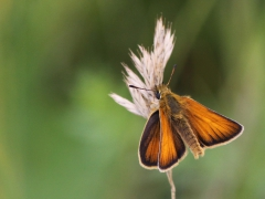 Mindre tåtelsmygare, Thymelicus lineola Essex Skipper
