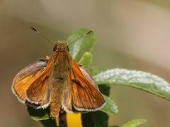 Mindre tåtelsmygareT(hymelicus lineola, Essex Skipper).