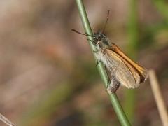 Mindre tåtelsmygare, äggläggande.T(hymelicus lineola, Essex Skipper) Biparadiset, Bokhultets NR, Växjö, Sm.