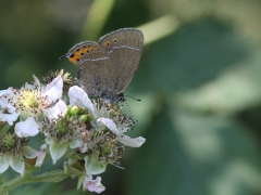 Busksnabbvinge (Satyrium pruni, Black Hairstreak) Dold lokal, Skåne