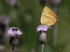 Eldsnabbvinge Thecla betulae Brown Hairstreak